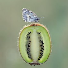 Photo: Delicacies  http://lepidoptera-butterflies.blogspot.fr/search/label/Delicacies