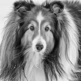 Who, me? by Pat Eisenberger - Animals - Dogs Portraits ( sheepdog, winter, snow, sheltie, shetland,  )