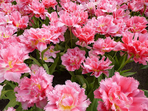 Photo: Theses are tulips, not carnations