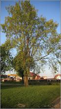 Photo: Calea Victoriei - spatiu verde in zona Bisericii Greco-Catolice din Mr.1 - Artar american ( Acer negundo Flamingo)  - 2017.04.18
