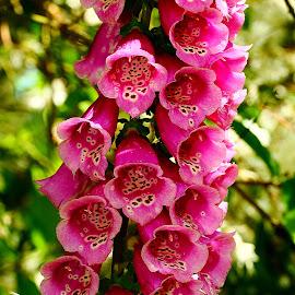 Digitale by Gérard CHATENET - Flowers Single Flower