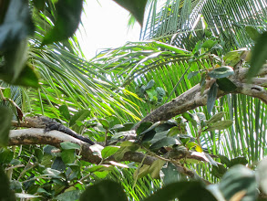 Photo: Iguana up a tree