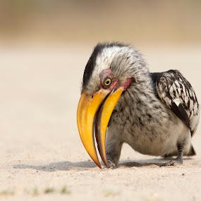 yellow hornbill bird by Anja Voorn - Animals Birds