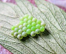 Photo: Eier der grünen Stinkwanze nach 5 Tagen, Mai 2012