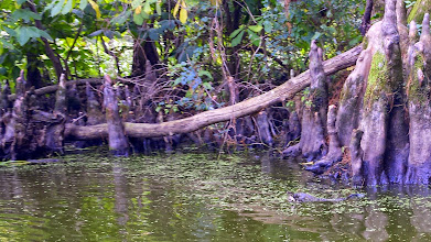 Photo: Camouflaged Cottonmouth