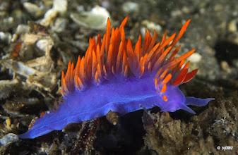 Photo: Spanish Shawl Nudibranch