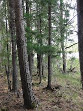 Photo: Сосновый лес на берегу озера.