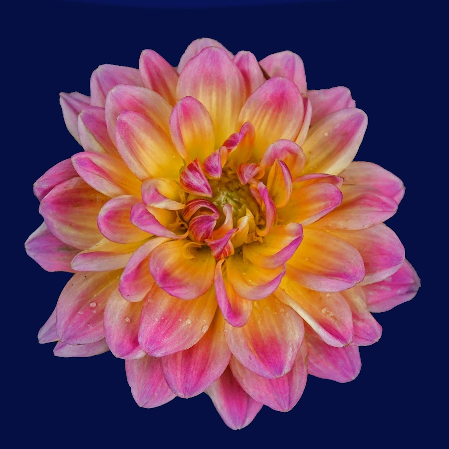 A Dahlia for My Mother by Dee Haun - Flowers Single Flower ( flowers, pink, dahlia, 190512f8588ce6, single flower, yellow, solid background, deep blue, mothers day )