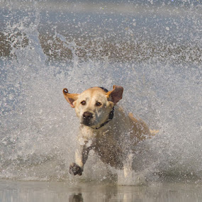 The chase. by Hennie Cilliers - Animals - Dogs Running