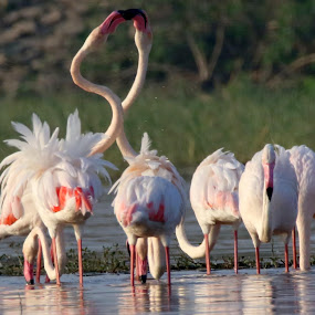 Greater flamingo by Vivek Naik - Animals Birds