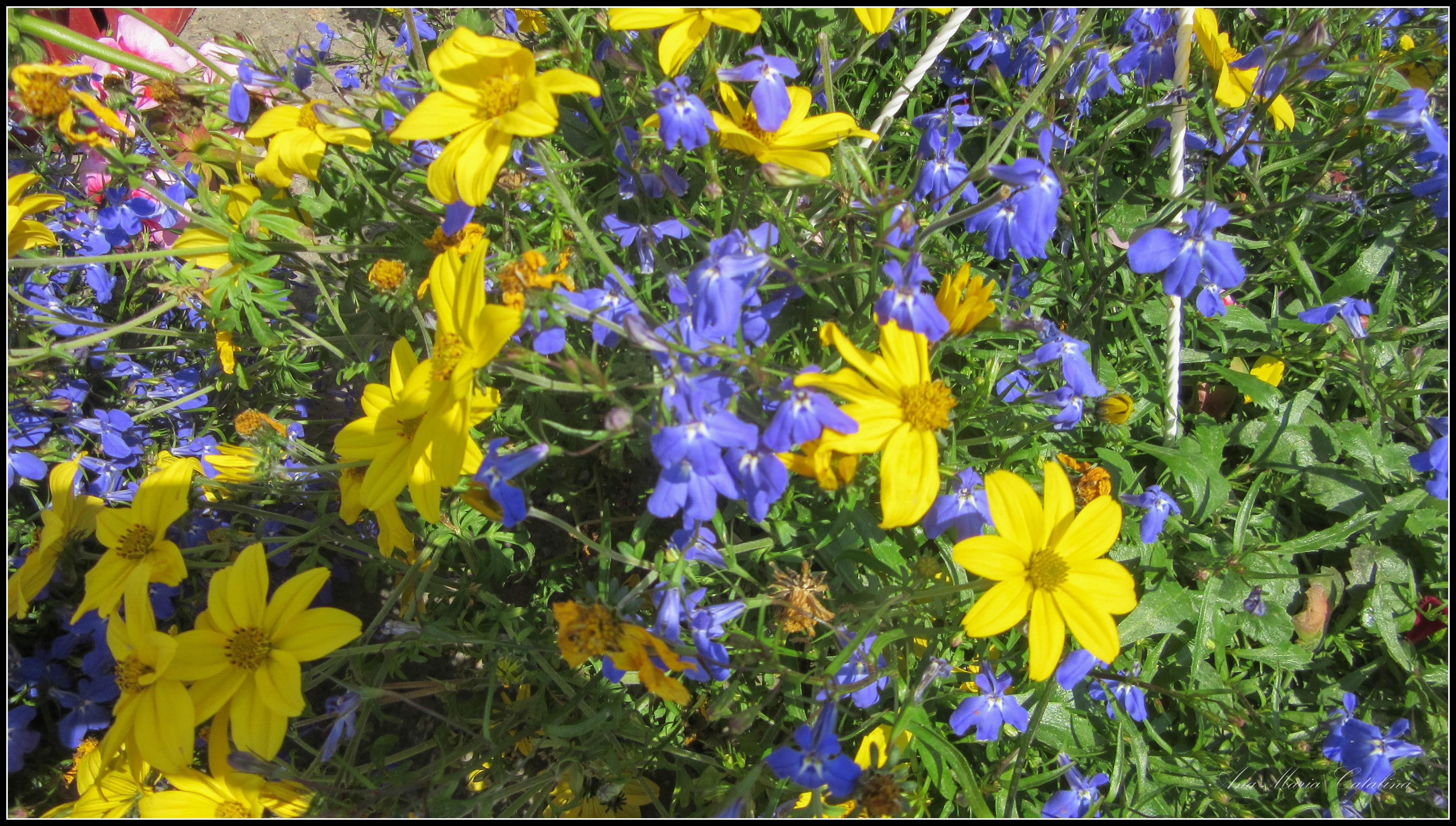 Photo: Bidens. - flori galbene - din Piata Centrla Agroalimentara - - 2017.05.27  album comun  http://ana-maria-catalina.blogspot.ro/2017/05/plante-diverse-din-comert.html