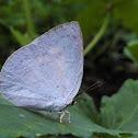 Indian Sunbeam Butterfly