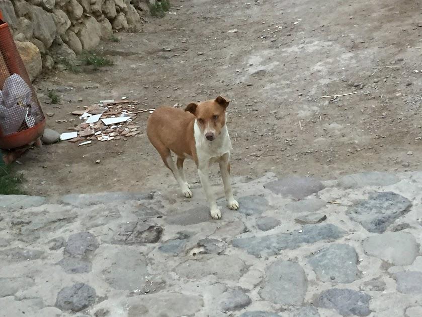オリャンタイタンボ 犬