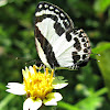 STRAIGHT PIERROT  BUTTERFLY