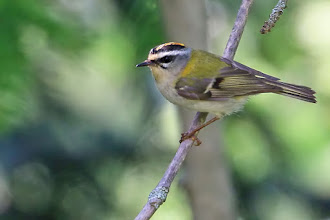 Photo: Firecrest