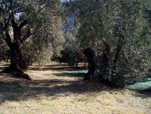 La chambre d'hôtes et les rameaux d'olivier