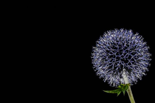 Fiore inquietante di laura62