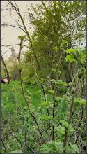 Photo: Turda - Str. Salinelor, Nr.15 - casa rurala - fosta casa  familiei Goia , gradina (parasita) - 2018.04.15