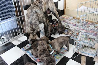 Photo: mama eet mee terwijl twee pups bij haar proberen te drinken