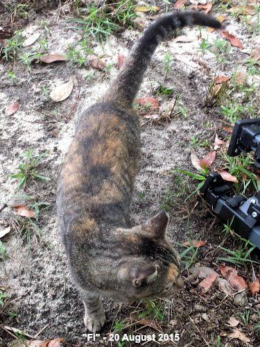 Fi - a not so feral farm cat