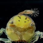 Crab Larvae