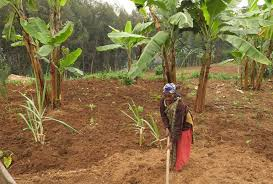 Prevalence of Climate Change in East Africa Affecting Smallholder Agriculture in Rwanda