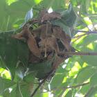 Weaver Ant Nest