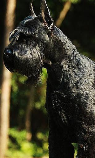 巨型雪纳瑞犬拼图