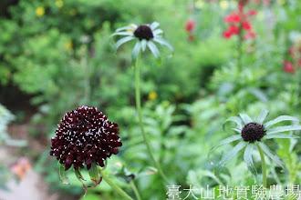 Photo: 拍攝地點: 梅峰-溫帶花卉區 拍攝植物: 松蟲草 拍攝日期:2013_07_04_FY