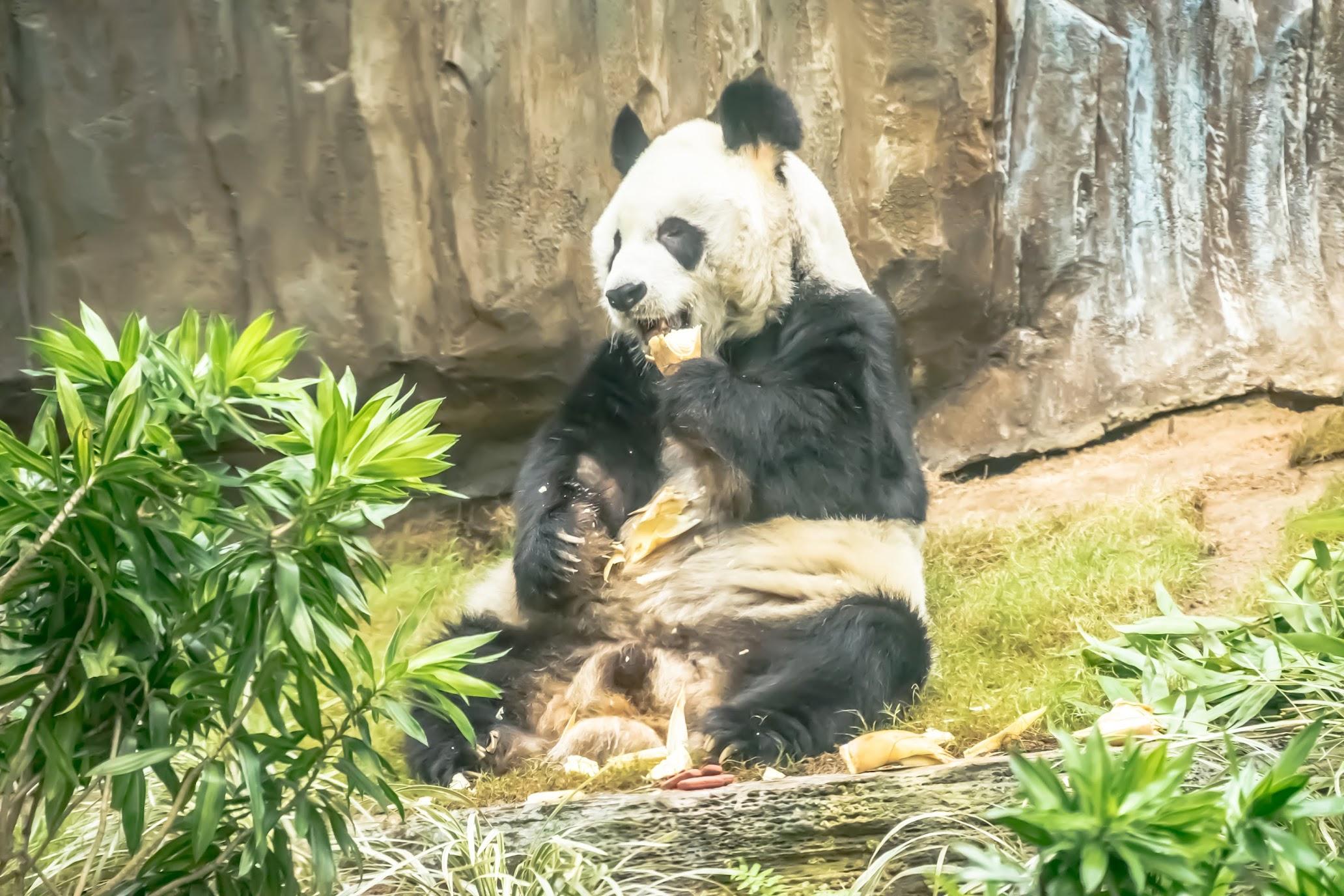 香港 海洋公園(オーシャンパーク) パンダ2