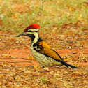 The black-rumped flameback