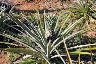 Photo: #020-Plantation d'Ananas