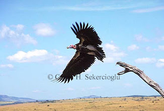 Photo: Lappet-faced vulture taking off. Masai Mara Game Reserve, Kenya.