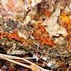Multigoblet Slime