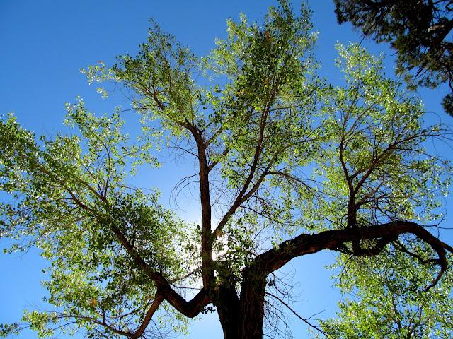 Backlit cottonwood tree