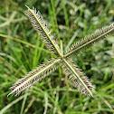 Crowfoot grass (Damung-balang)