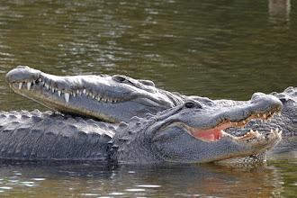 Photo: alligator mississippiensis, american alligator