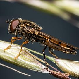 Fly by Pavel Voitukovic - Uncategorized All Uncategorized ( macro, close up, fly, insect )