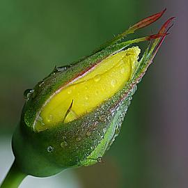 by Carmen Quesada - Flowers Flower Buds ( rose, drops, yellow, bud, flower )
