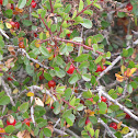 Spiny Redberry