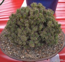 Photo: Euphorbia suzannae hybrid, 3rd place