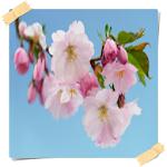 New Cherry Blossom Onet Game