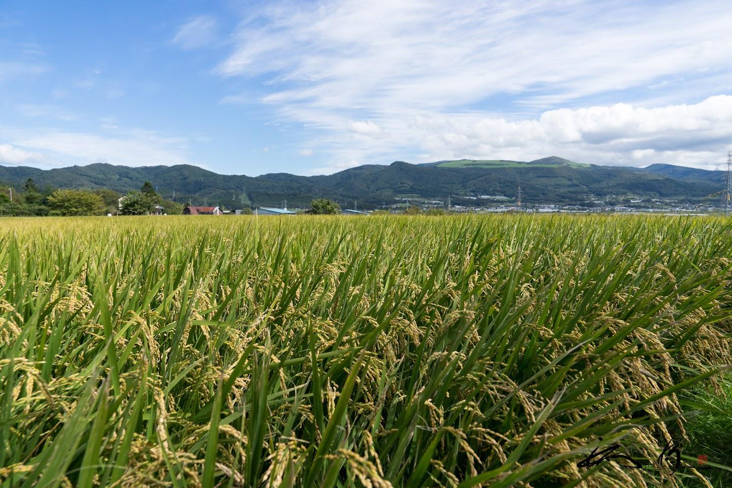 収穫を待つ「ふっくりんこ」