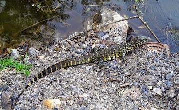 Photo: Monitor lizard