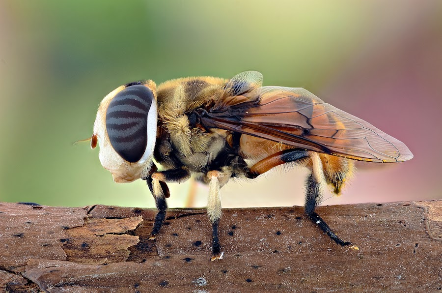 Brown Fly by Yudy Sauw - Animals Insects & Spiders
