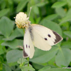 large white, cabbage butterfly, cabbage white, cabbage moth