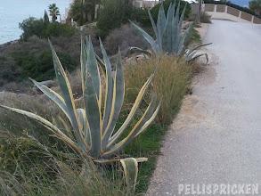 Photo: Aloe vera på rad... Den främre mycket dekorativ
