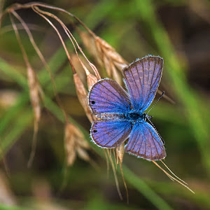 reakirt's blu Echinargus isola on tan grs opn x.jpg