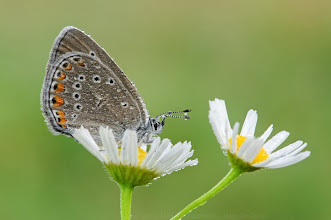 Photo: Polyommatus amandus, Azuré de la jarosse, Amanda's Blue http://lepidoptera-butterflies.blogspot.fr