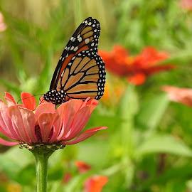 Monarch on an orange flower by Mary Gallo - Flowers Flower Gardens (  )